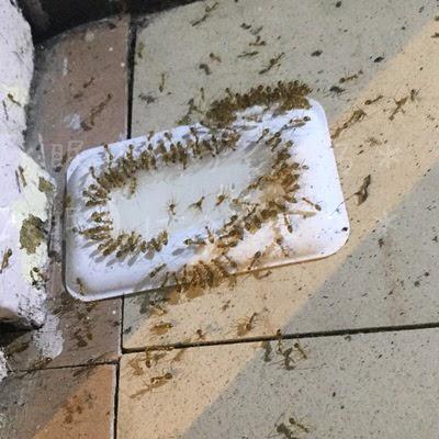 アリメツを吸ってお腹がパンパンになった蟻たち