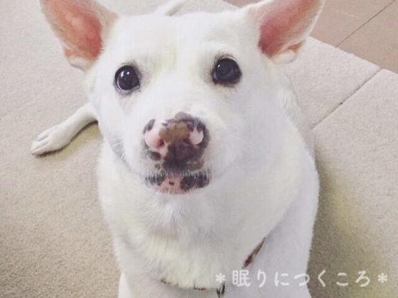 雑種の白犬マリさん