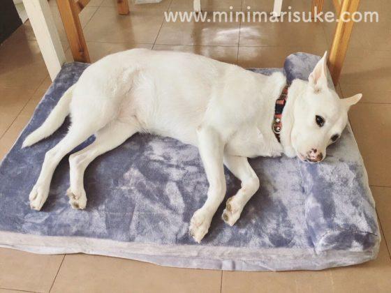 JoicyCo犬用ベッド枕付きで横になる中型犬のマリさん