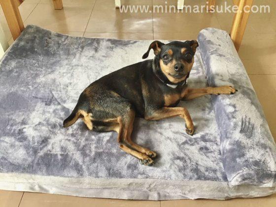 小型犬がJoicyCo犬用ベッドMサイズで寝てる様子