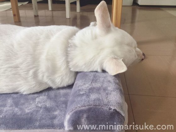 JoicyCo犬用ベッドの枕を使いこなす中型犬マリさん