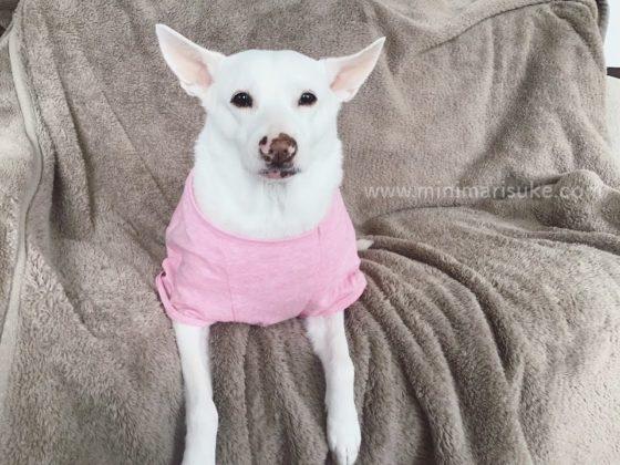 お風呂に入ってすっきりした白犬マリさん