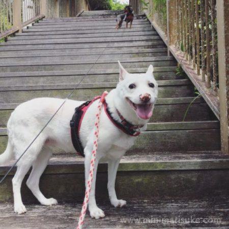 公園にて楽しそうな白犬マリとミニピン小町