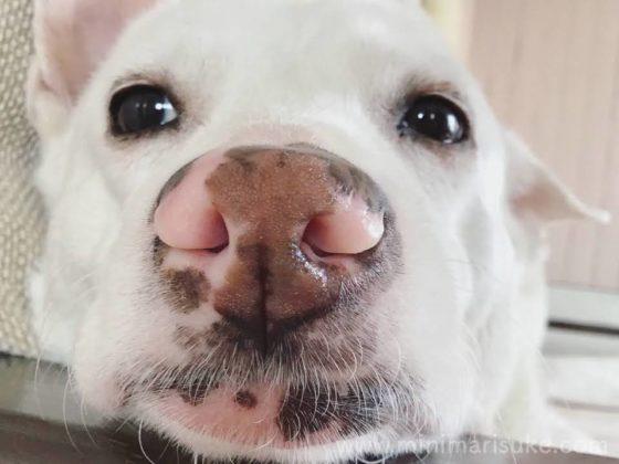 ピンク色のぶち鼻がかわいいマリさんのどアップ