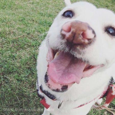 公園にていい笑顔を見せる白犬マリさん