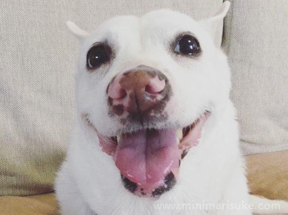 てへ顔の白犬マリさん